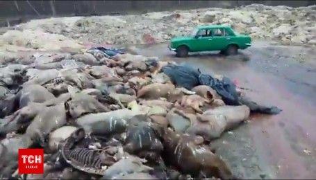 На Волині купи мертвих свиней та коней гниють просто неба