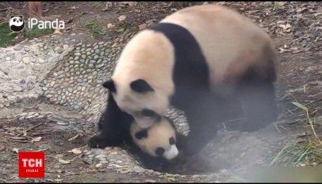Пандовиховання: як мама-панда намагалася викупати своє чадо