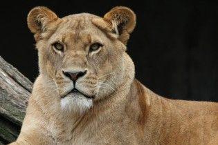 В Индии львы загрызли до смерти мужчину, который залез в их вольер и разозлил их
