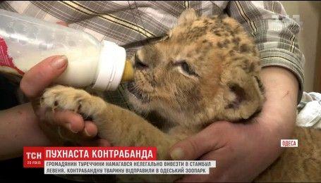 Одеські прикордонники врятували життя левеняті, яке намагалися контрабандою вивезти з України