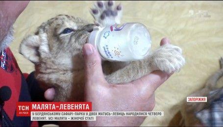 Четверо левенят народилися у Бердянському сафарі-парку