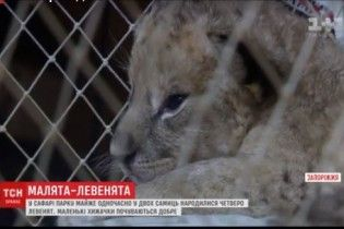 У Бердянському зоопарку показали чотирьох новонароджених левенят