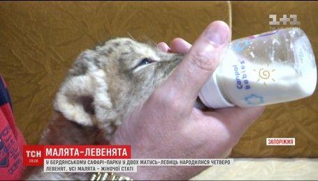 У Бердянському сафарі-парку народили дві левиці