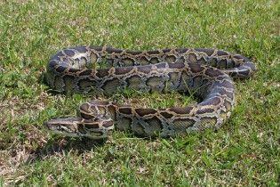 В Австралії пітон проковтнув крокодила