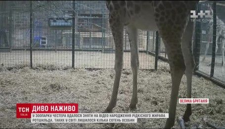 В британском зоопарке родился детеныш редчайшего подвида жирафа