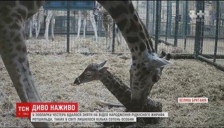 В Британии засняли рождения жирафенка редчайшего подвида