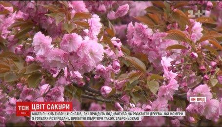 Ужгород ждет толпы туристов из-за цветения сакуры