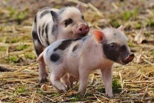 На Ровенщина и Львовщине зафиксировали вспышки африканской чумы свиней