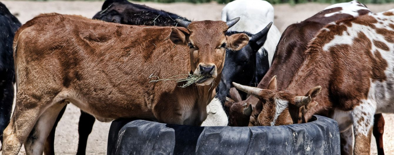 Бешеные коровы уложили на больничные койки полтора десятка селян на Черниговщине