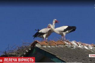 К самому романтичному аисту Тернопольщины с теплых краев вернулась подруга