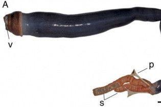 """Уперше в історії учені натрапили на живого гігантського """"корабельного хробака"""" на Філіппінах"""
