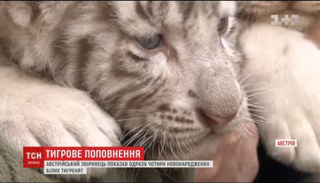 Зоопарк в Австралии похвастался четырьмя новорожденными белыми тигрятами