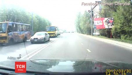Львівські водії посеред дороги пропустили качок