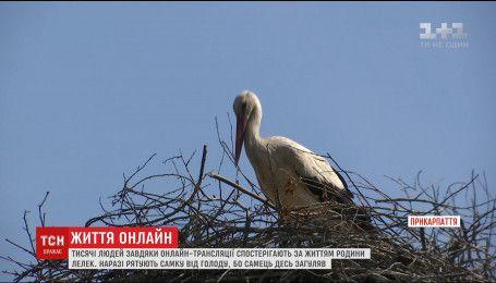 Тисячі людей цілодобово спостерігають за гніздом лелек в режимі онлайн