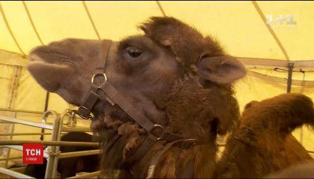 На бельгийской дорогое водителей напугали верблюды, сбежавшие из подвижного цирка