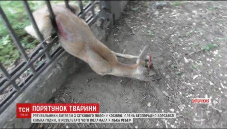 В Запорожье спасатели вытащили косулю, которая застряла в заборе ДнепроГЭСа