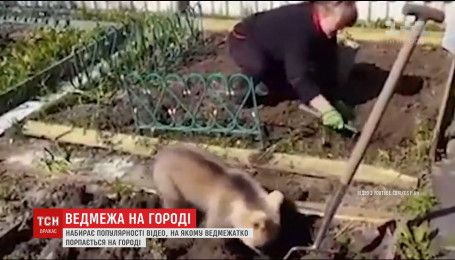 В Інтернеті набирає популярності відео з ведмедем, який допомагає жінці садити картоплю