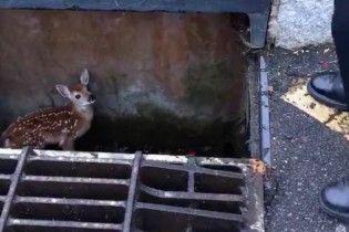 В США полицейский спас маленького олененка из дождевой канализации