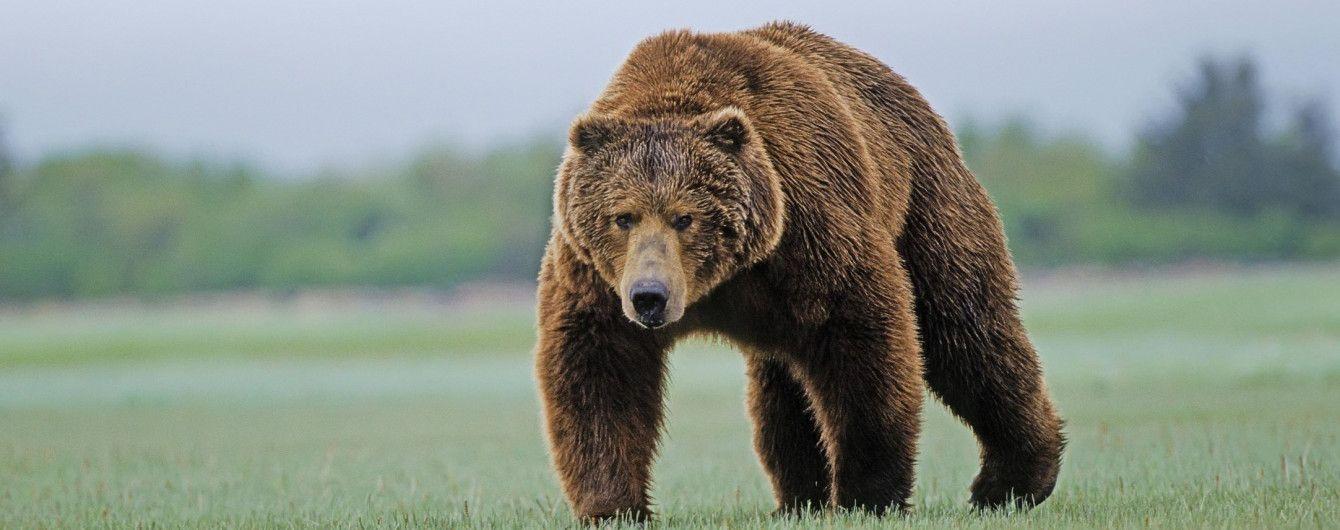 На Алясці літак збив буру ведмедицю: її дитинча вижило