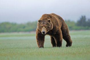 У США ведмідь вдерся до помешкання і випробував фортепіано на міцність