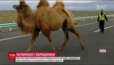 У Китаї два верблюди розгулювали по шосе