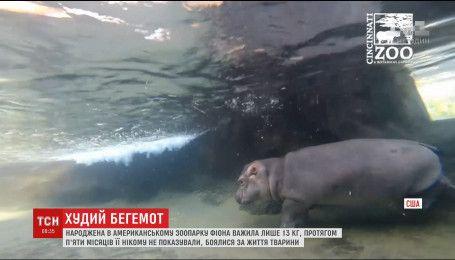 Крихітного бегемотика вагою в 122 кілограми вперше показали загалу в зоопарку Огайо