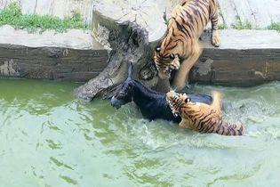 В Китае разгневанные инвесторы зоопарка на глазах посетителей бросили тиграм живого осла