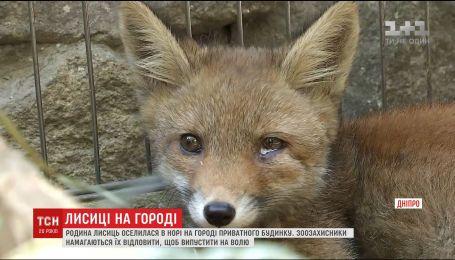 Семья лисиц поселилась во дворе частного дома Днепра