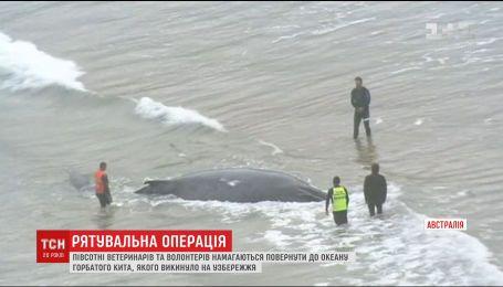 Во время прилива на австралийское побережье выбросило горбатого кита