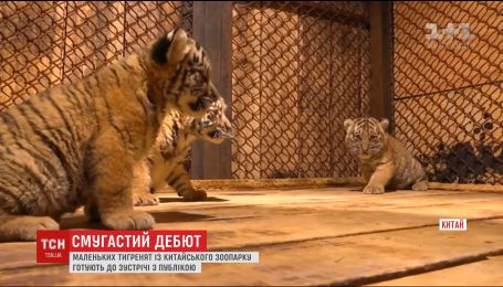 В китайском зоопарке впервые показали месячных тигрят