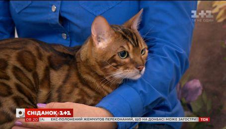 """В гостях """"Сніданку"""" владелица бенгальских кошек со своим любимцем"""