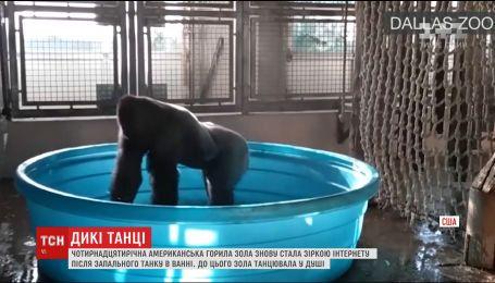 Американская горилла Зола покорила Интернет зажигательным танцем в воде