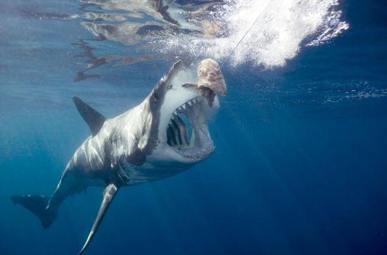 У Японії знайшли мертву двотонну акулу, яка вдавилася черепахою