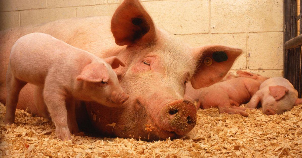 На Буковині масовий спалах африканської чуми: через захворювання заб'ють 21 тисячу свиней