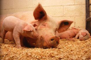 В США приют для животных ищет волонтеров для объятий с поросятами