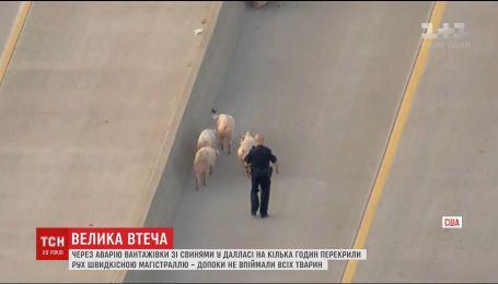 В Техасе стадо свиней парализовало движение на автостраде