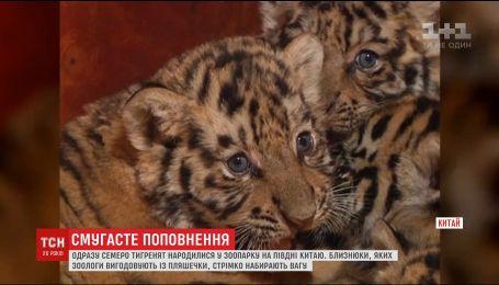В китайском зоопарке родился сразу семь тигрят