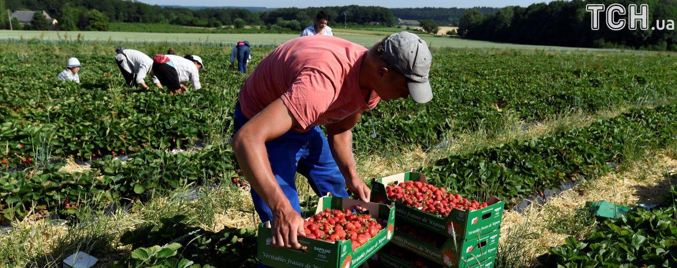 В Польше может сгнить до 40% урожая клубники из-за нехватки работников-украинцев