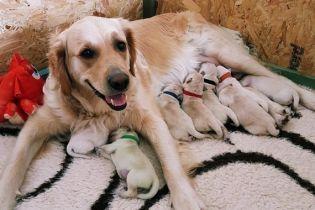 В Шотландии у ретривера родился редкостный зеленый щенок