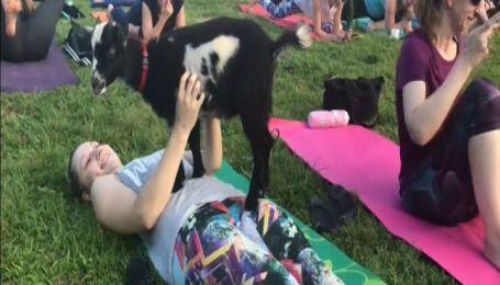 В США все больше людей занимаются йогой вместе с козами