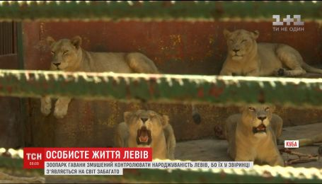 Кубинский зоопарк вынужден стерилизировать львов, чтобы контролировать их рождаемость