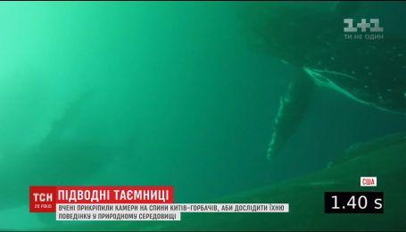 Вчені дослідили життя китів під водою завдяки спеціальним камерам