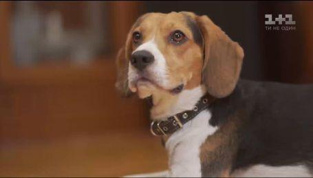Правила ухода за собаками породы бигль