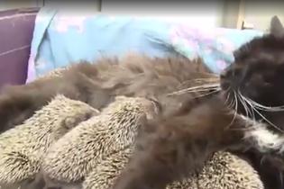 У російському звіринці кішка вигодовує вісьмох осиротілих їжачків
