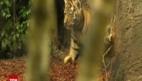 Четырех сибирских тигрят впервые вывели в свет в Гамбургском зоопарке