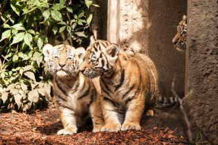 """У Німеччині вперше показали новонароджених сибірських тигренят із зоопарку """"Хагенбек"""""""