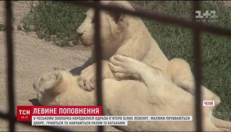 У чеському зоопарку народилися одразу п'ятеро рідкісних левенят