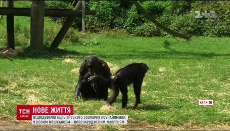 Відвідувачів бельгійського зоопарку познайомили з новонародженою мавпочкою бонобо