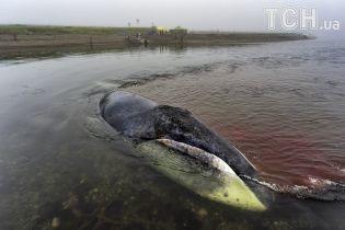 У Росії повернувся на волю кит, який застряг у гирлі ріки