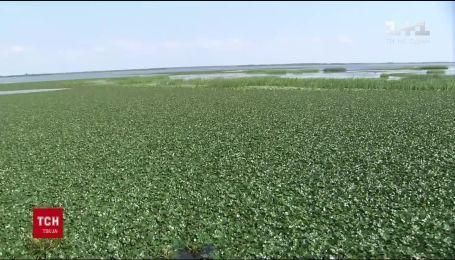Водяний горіх може знищити в Дніпрі рибні запаси країни